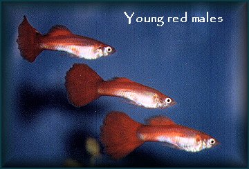 Young Red Males
